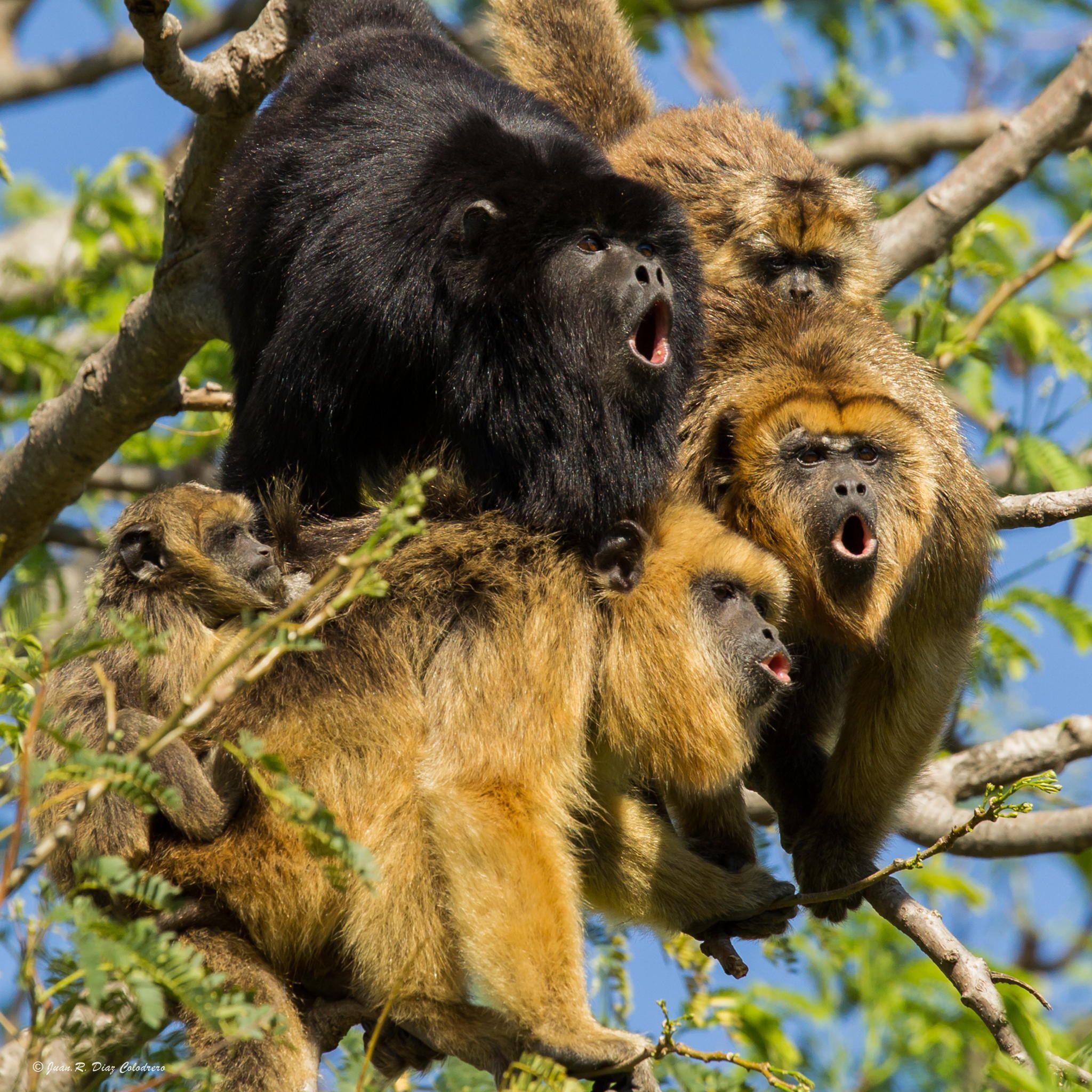 argentina scimmie cordoba proyecto carayá