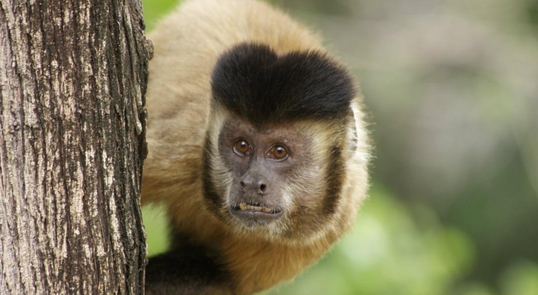 scimmie cordoba proyecto carayá
