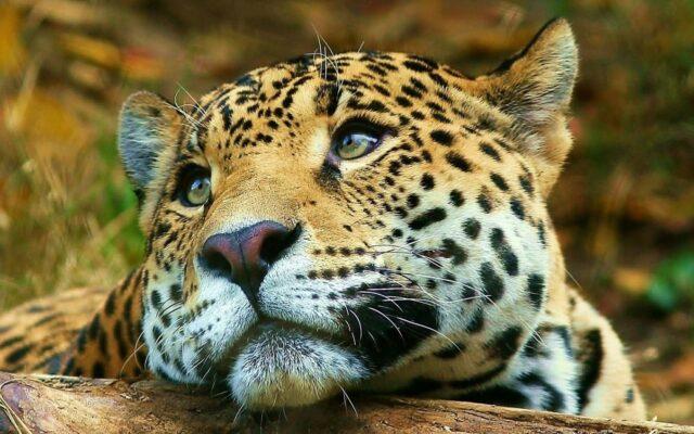 esteros del ibera corrientes ripopolamento giaguaro argentina