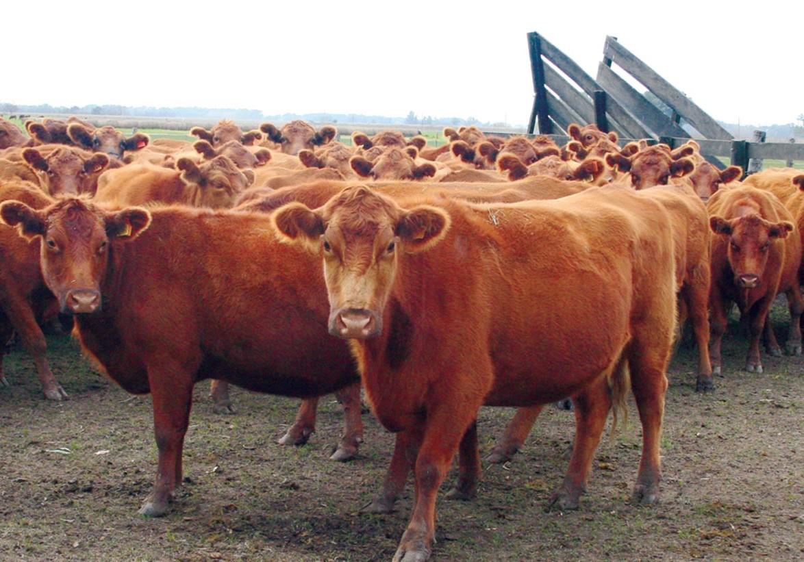 carne argentina bovina aumento prezzi consumo interno export 2020