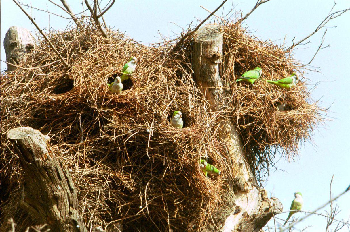 pappagalli argentini abbattere madrid ecosistema