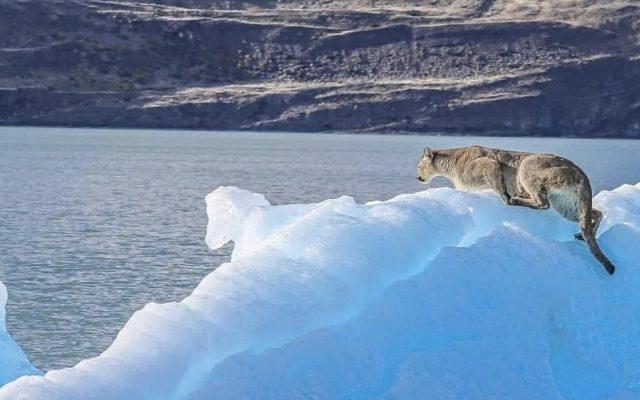patagonia argentina puma iceberg lago argentino el calafate