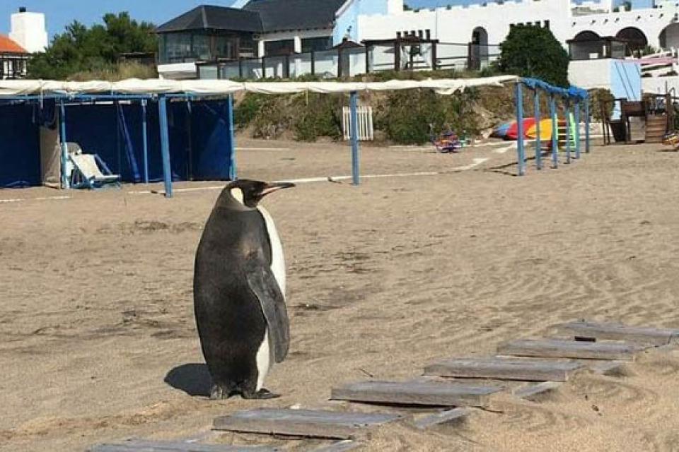 pinguino spiaggia miramar argentina