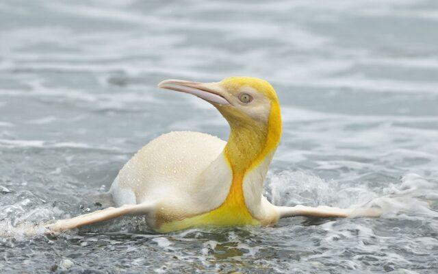 pinguino reale giallo leucistico isole georgia del sud atlantico