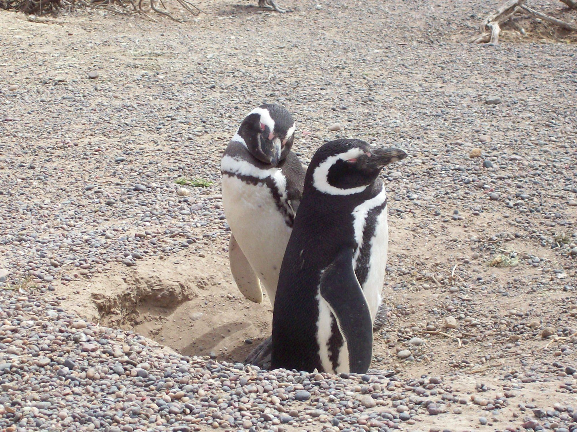 patagonia argentina chubut punta tombo pinguini magellano